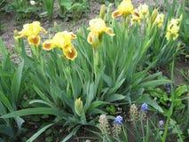 Iris coloridos en el jardín, jardín perenne Jardinería Grupo del iris barbudo de iris amarillos en el jardín ucraniano Fotografía de archivo libre de regalías