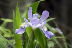 Iris con cresta enano en el bosque imagen de archivo libre de regalías