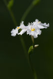 Iris confusa Royalty Free Stock Images