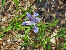 Dwarf Crested Iris Wildflower Bloom royalty free stock photos