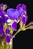 Iris croatica. Also called blackberry lily or snake's head iris or vesper iris Stock Photos
