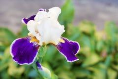 Iris cultivar flower closeup on green background. White and violet iris cultivar flower closeup on green garden background stock image