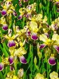 Iris d'héritage images stock