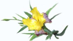 Iris d'isolement sur un fond blanc Image stock