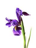 Iris d'isolement violet de fleur Photo stock