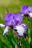 Iris Dancers Veil-Blumen Lizenzfreies Stockbild