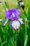 Iris Dancers Veil-Blumen Stockfotografie