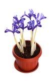 Iris dans un pot Images stock