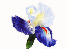 Iris  Dark Blue Petals Royalty Free Stock Photo