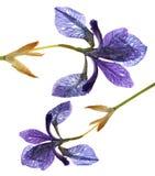 Iris dark blue, purple  perspective, delicate  fresh flowers and Stock Image