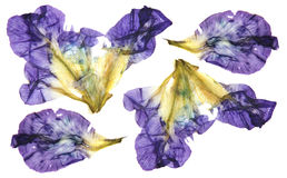 Iris dark blue, purple  perspective, dry delicate yellow flowers. And petals isolated on white background scrapbook pressed Royalty Free Stock Photos