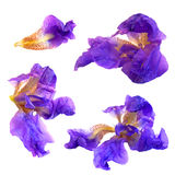 Iris dark blue, purple. Perspective, dry delicate yellow flowers and petals isolated on white background scrapbook pressed Stock Images