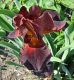 Iris dark Burgundy color. Amber beard on the background of velvety dark red petals - like a fire in the depths of the hearth. Perhaps the brightest of the stock photography