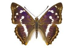 Iris de Aglais imagen de archivo