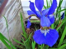 Iris de bleu Photo libre de droits