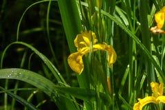 Iris De bloem van de zomer Stock Fotografie