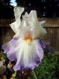 Iris de Blue&White Image libre de droits
