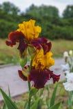 Iris de Brown Imagenes de archivo