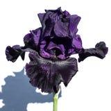 Iris de color morado oscuro Fotos de archivo libres de regalías