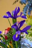 Iris de dos azules imagen de archivo