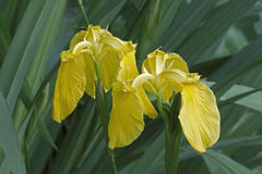 Iris de drapeau jaune Photographie stock