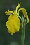 Iris de drapeau jaune Images libres de droits