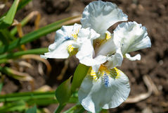 iris de fleur Image stock