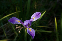 Iris de l'eau Image stock