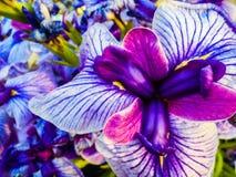 Iris de l'eau Photographie stock libre de droits