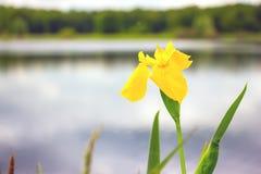 Iris de la bandera amarilla pseudacorous Imagen de archivo libre de regalías