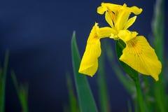 Iris de la bandera amarilla pseudacorous Imagenes de archivo
