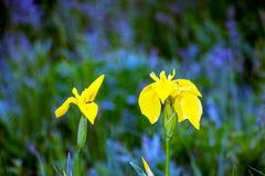 Iris de la bandera amarilla pseudacorous Imagen de archivo