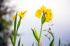 Iris de la bandera amarilla pseudacorous Fotos de archivo libres de regalías