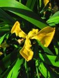 iris de la flor Foto de archivo