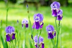 Iris de la flor en el jard?n Iris de la flor de la primavera tirado en sol claro en fondo verde fotografía de archivo libre de regalías