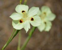Iris de la Louisiane images libres de droits