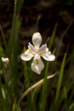 Iris de la Louisiane Photographie stock libre de droits