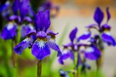 Iris de las flores y primer azules del abejorro Fotografía de archivo