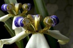 Iris de marche : Blanc/pourpre, usine d'apôtre Photo libre de droits