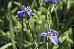Iris de marche sur le vert-foncé du jardin Photographie stock libre de droits
