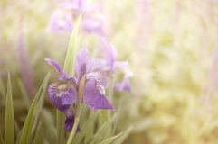 Iris de matin Photos stock