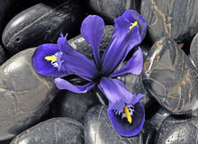 Iris de source Photos stock