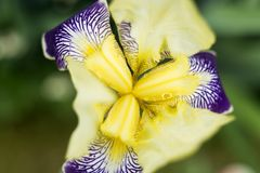 Iris in de tuin Stock Foto