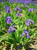 iris de zone photo stock