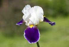 Iris. Stock Images