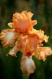 Iris del melocotón Fotos de archivo libres de regalías