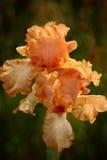 Iris del melocotón - 1088 Imágenes de archivo libres de regalías