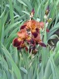 Iris del rojo de ladrillo Fotos de archivo libres de regalías
