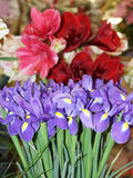 Iris delicados contra la perspectiva de las flores Fotos de archivo libres de regalías