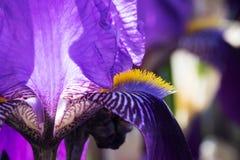 Iris in der Blüte Stockbilder